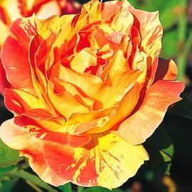 Rose delbard for Ocra pianta